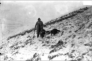 Shepher with dogs and flock of sheep on snowy hillside.